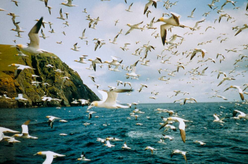 Gannets fly over St Kilda.