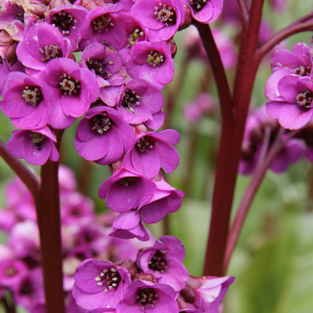 A close-up of purple Bergenia in Greenbank Garden