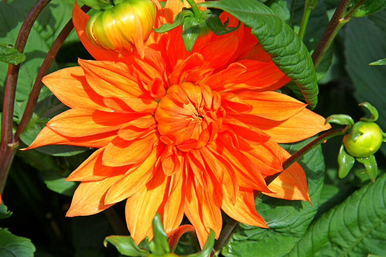 A bright orange Dahlia flower in Geilston Garden