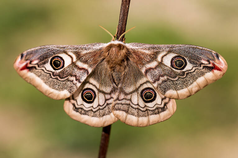 An emperor moth sits on a twig at Goat Fell