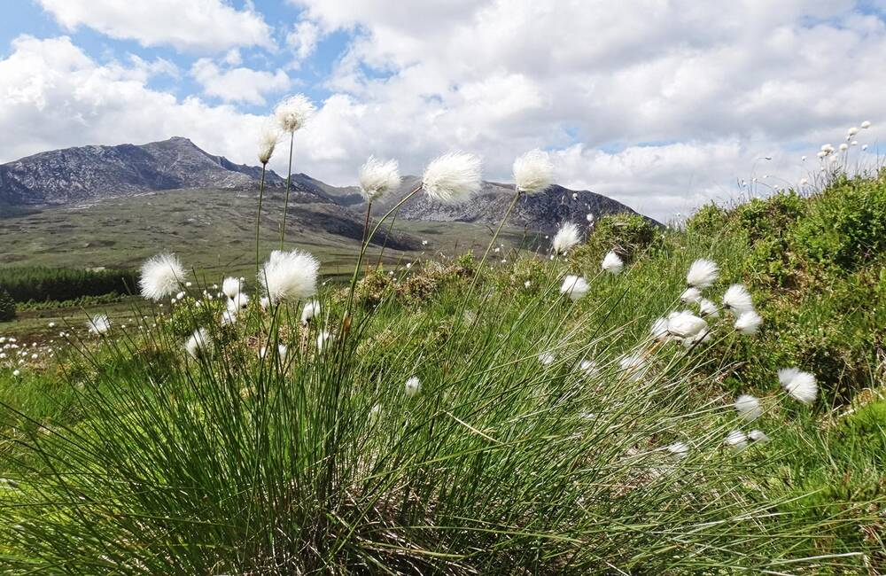 Bog cotton at Goatfell