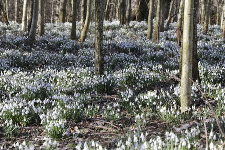 Snowdrops cover the woodlands of House of Dun