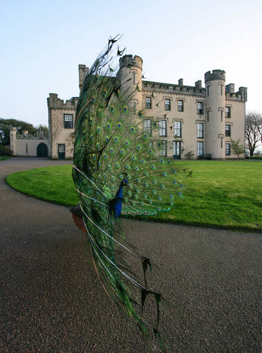 A peacock walks around the grounds in front of the House of the Binns