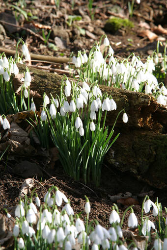 Snowdrops cover the woodlands of the House of the Binns