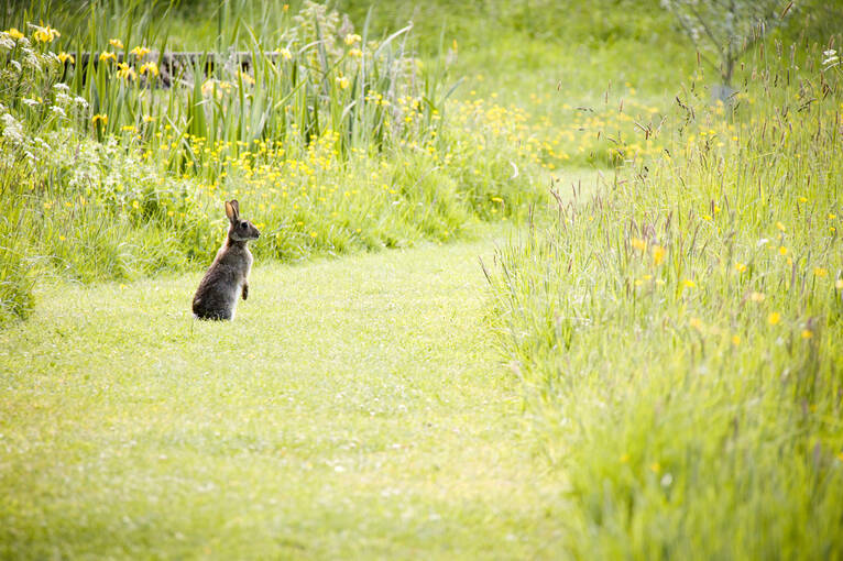 A hare stands up in the grass in Inveresk Lodge Garden