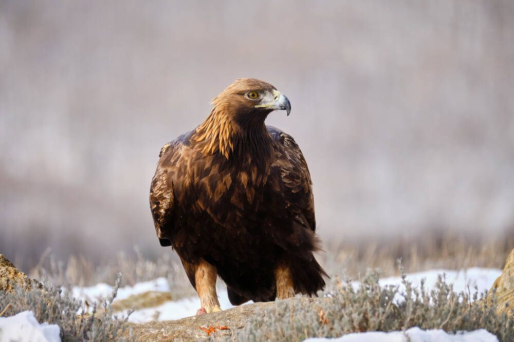 A golden eagle sitting on snowy ground