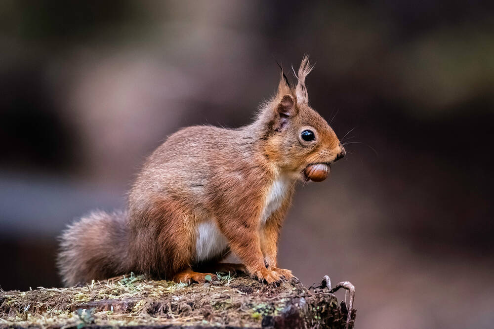 A red squirrel sits on a log, holding a nut in its mouth.