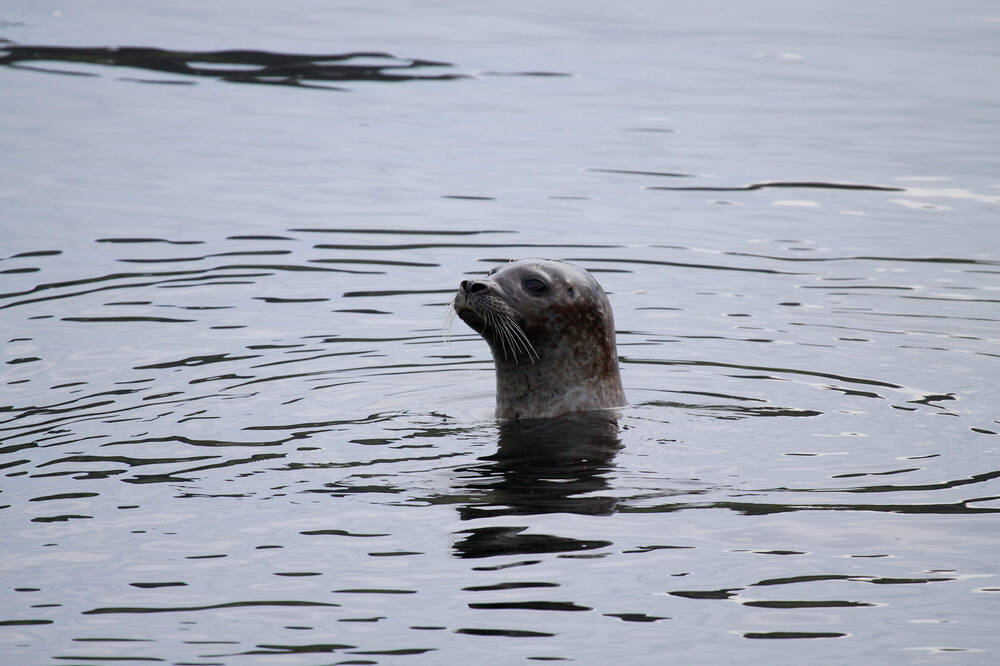 Harbour seal bobbing above the water.