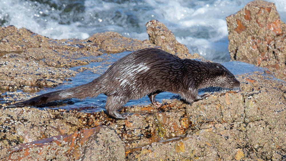 An otter explores the rockpools on the edge of Loch Ewe