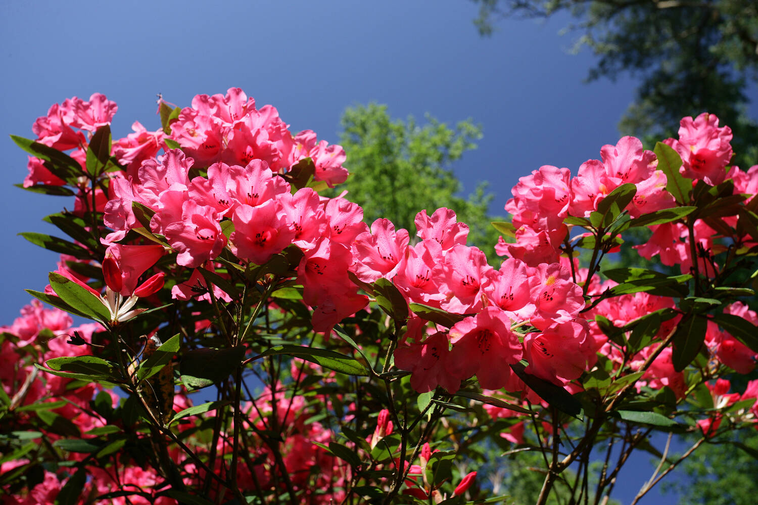 Rhododendrons in bloom at Inverewe Garden