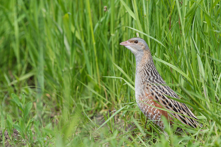 A corncrake in the grass on Iona