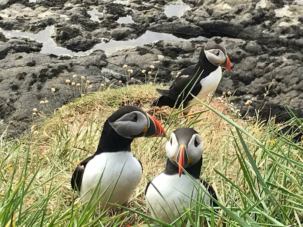 Three puffins sit on a grassy tuft, beside a rocky coastal area. Two look to the side, but one looks directly at the camera.