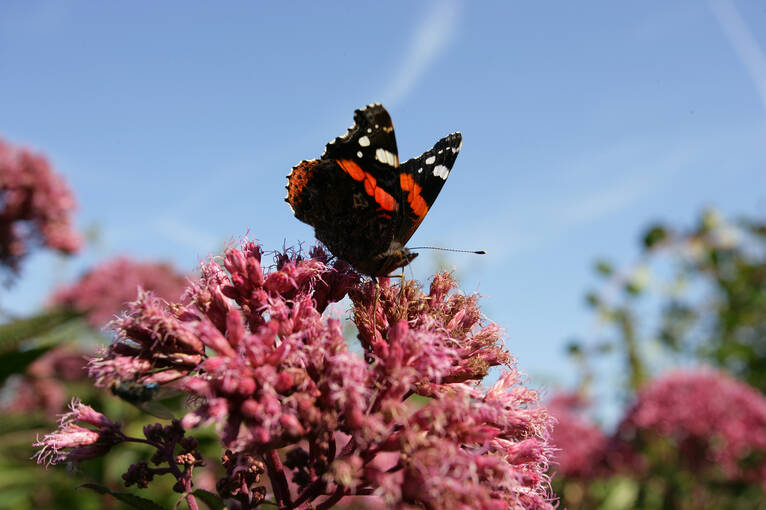 A red admiral butterfly perches on a flower in Kellie Castle Garden.
