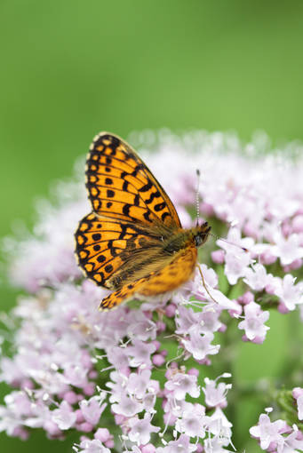 A pearl-bordered fritillary butterfly perches on a flower in Killiecrankie.