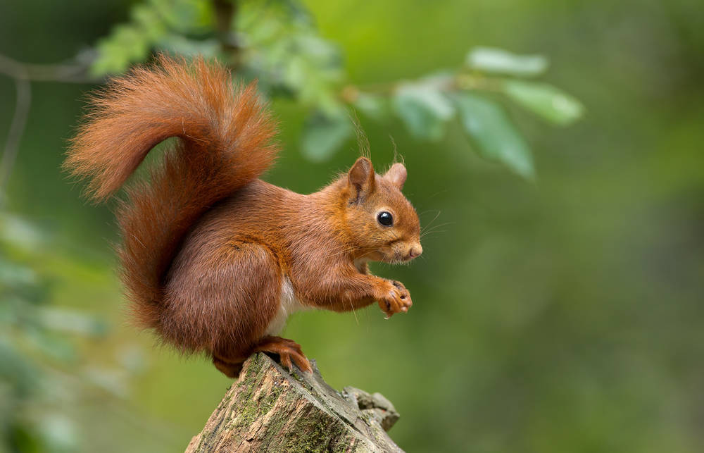 A red squirrel climbs a tree