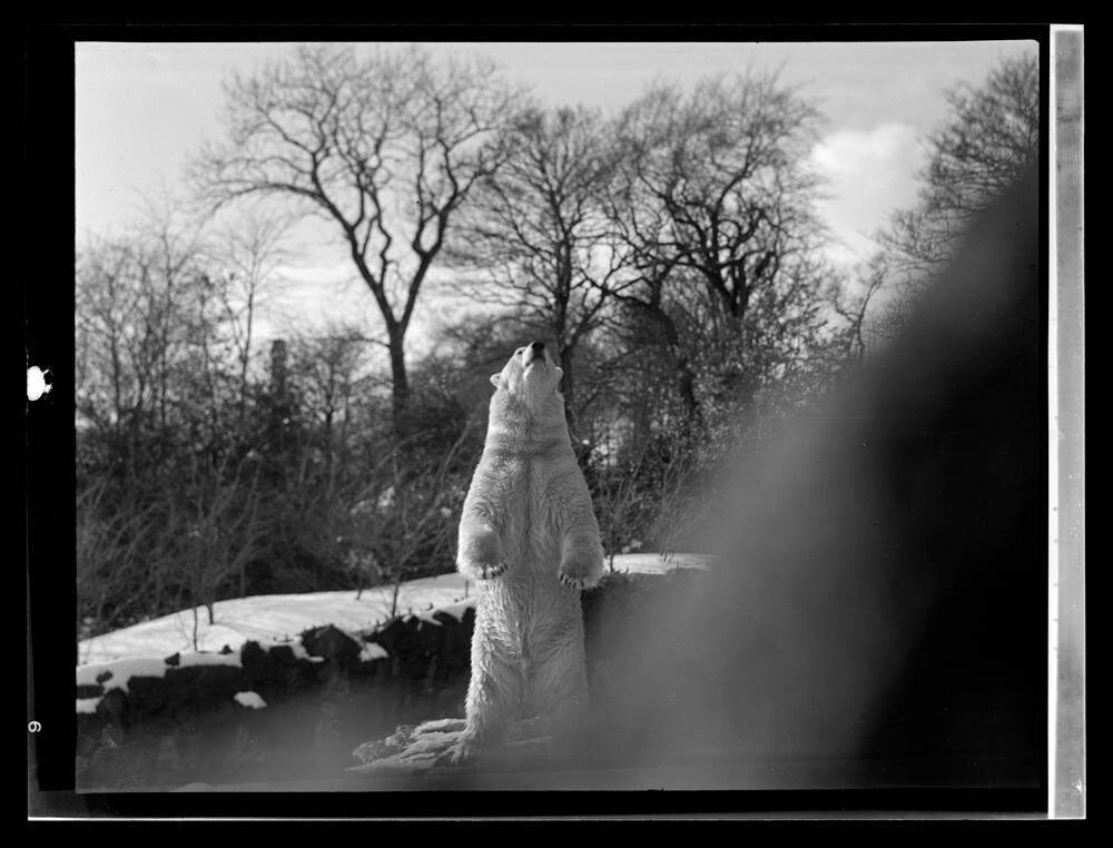 A polar bear in Edinburgh Zoo, 1936 - inverted image.