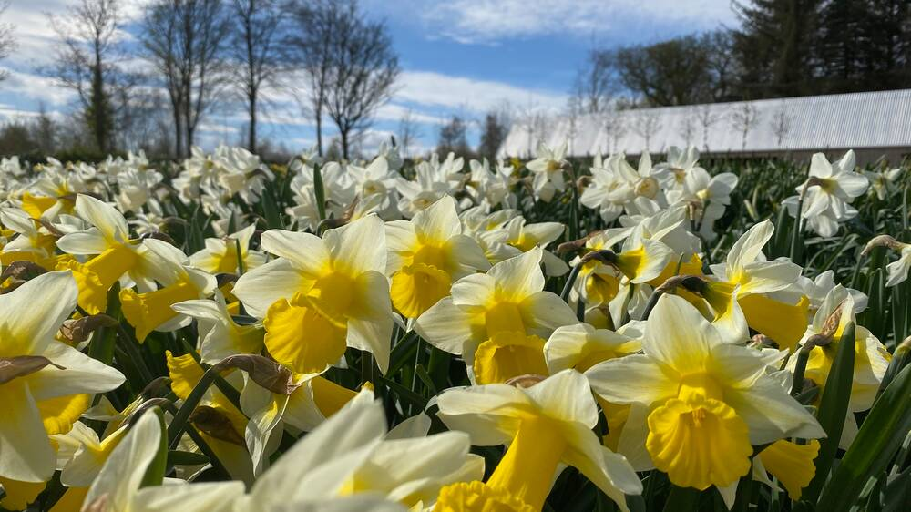 A close-up of a daffodil bed with the new visitor centre just seen in the background. These daffodils have pale yellow petals with bright yellow trumpets!