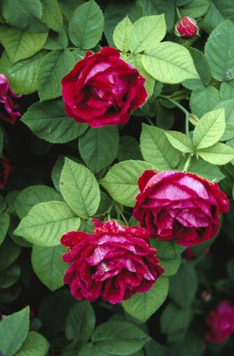 A close-up of red roses in Malleny Garden