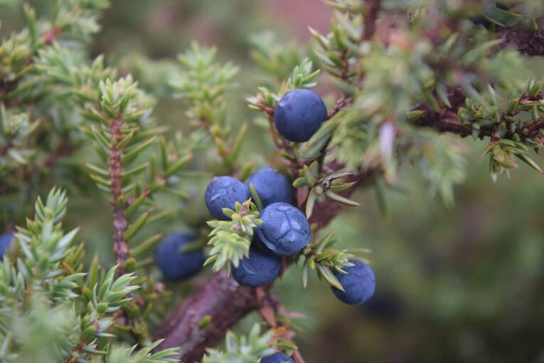 A close-up of juniper berries, growing on a twig