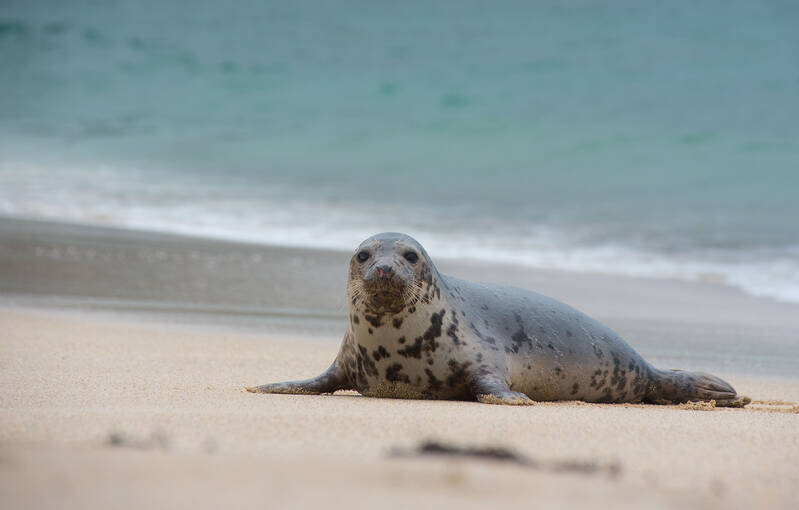 A seal lies on a Mingulay beach.