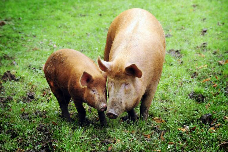 A mother sow and piglet