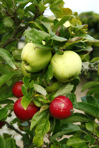 A close-up of an apple tree in Pitmedden Garden