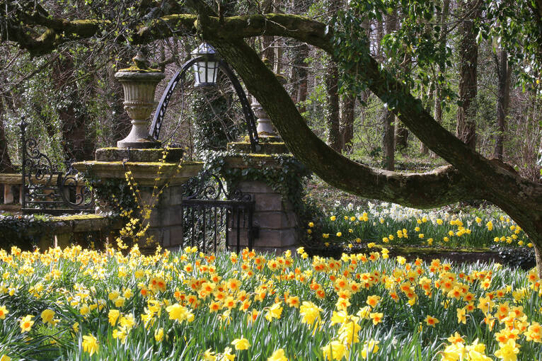Daffodils in spring, looking towards Pollok House