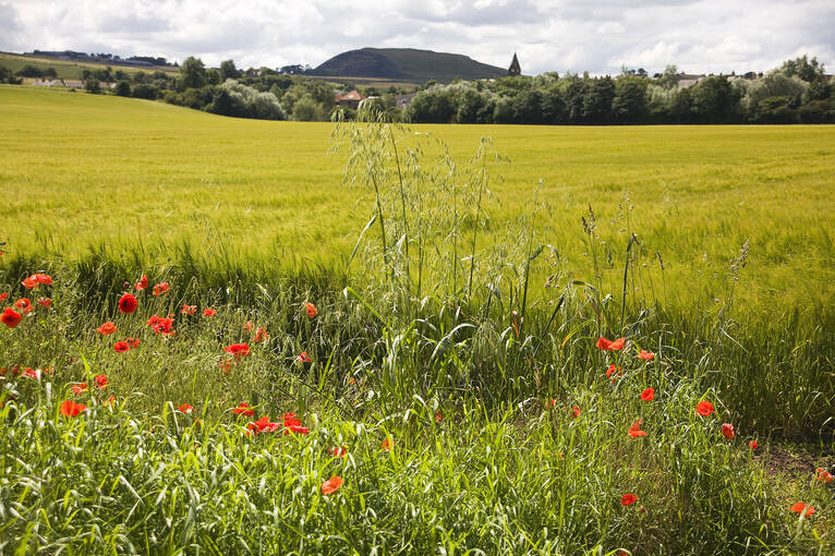 Poppies in the fields surrounding Preston Mill