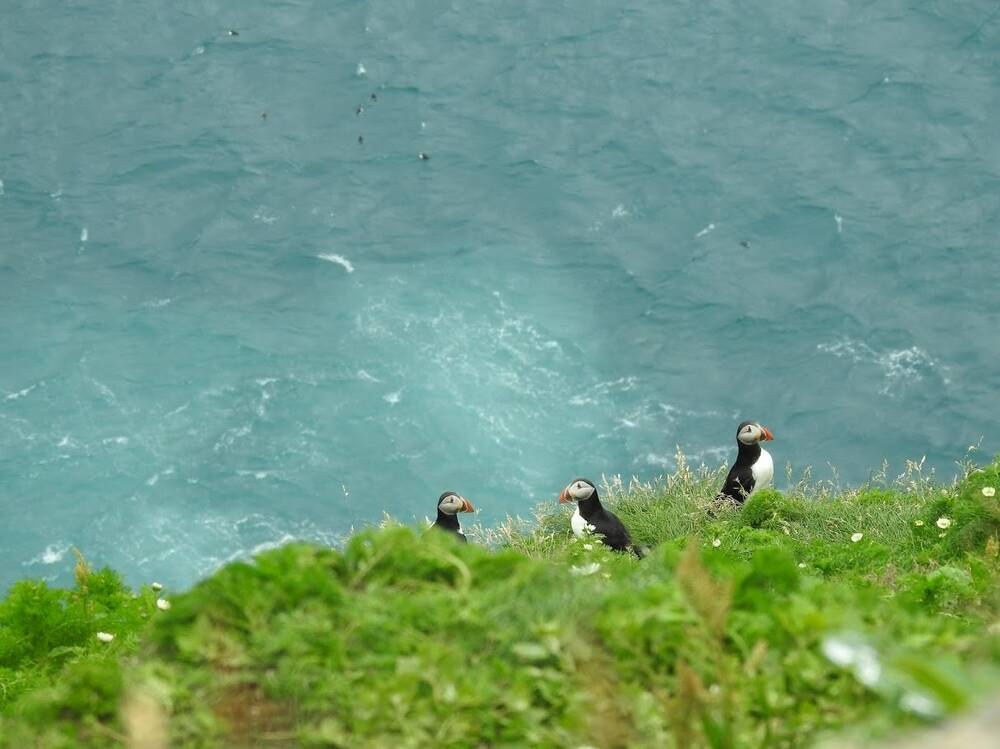 Puffins on a cliffside, above a choppy sea