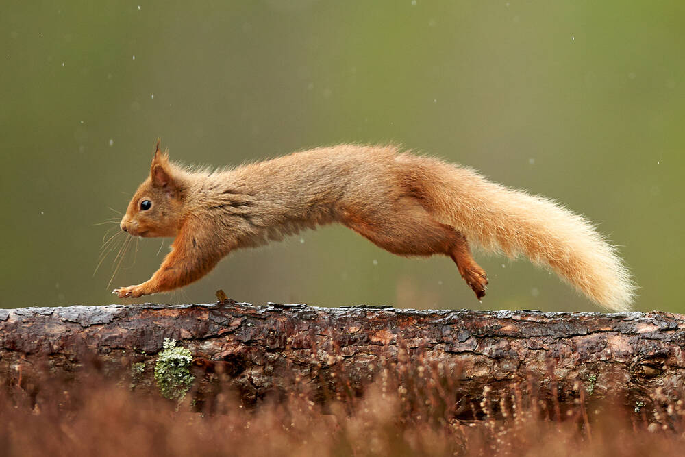 A red squirrel runs along a branch with its legs stretched and its tail behind.