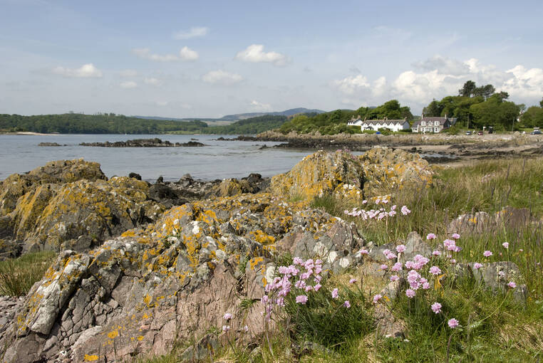 Sea pinks at Rockcliffe in summer
