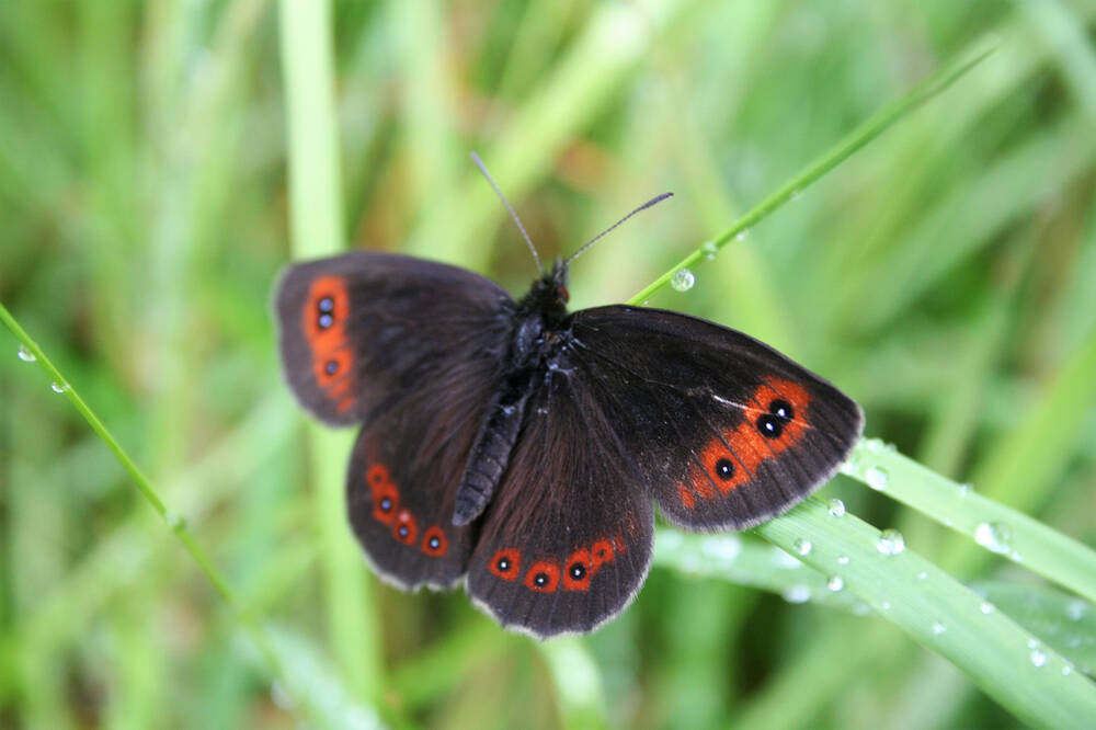 Scotch argus butterfly on a blade of grass