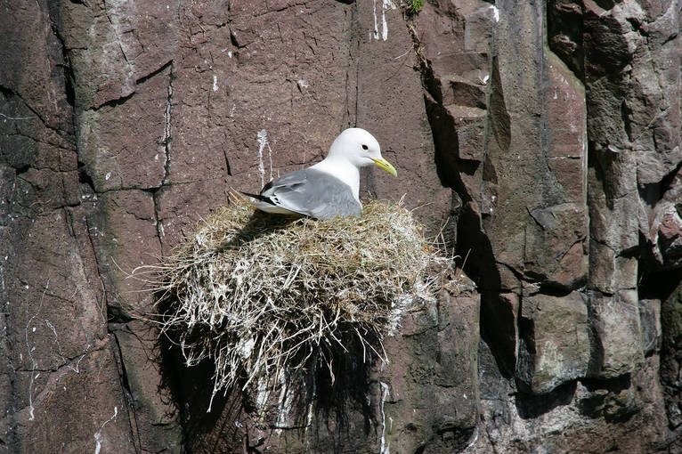 A kittiwake sitting on its nest on the cliffs