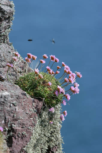 Sea pinks clinging to the cliffs