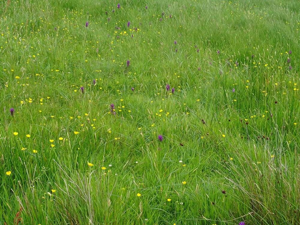 A close-up of a meadow, with mainly grass but spots of wildflower colour.