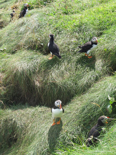 Puffins are a common sight on Staffa in summer