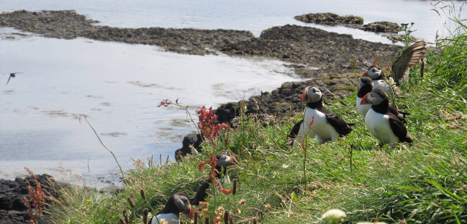 Staffa is an important seabird colony, especially for puffins