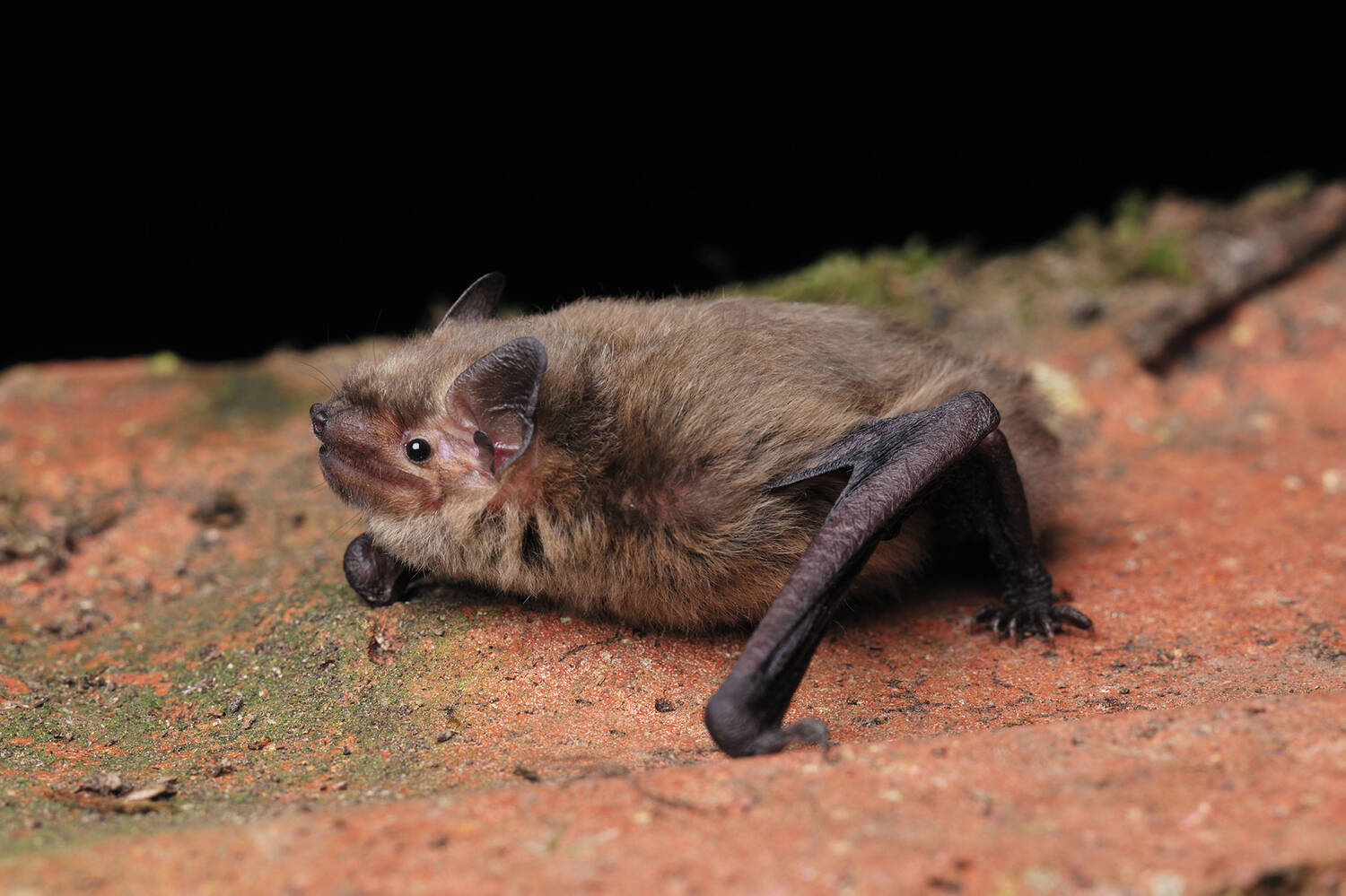 A pipistrelle bat at Threave sits on a stone surface, its wings folded in.