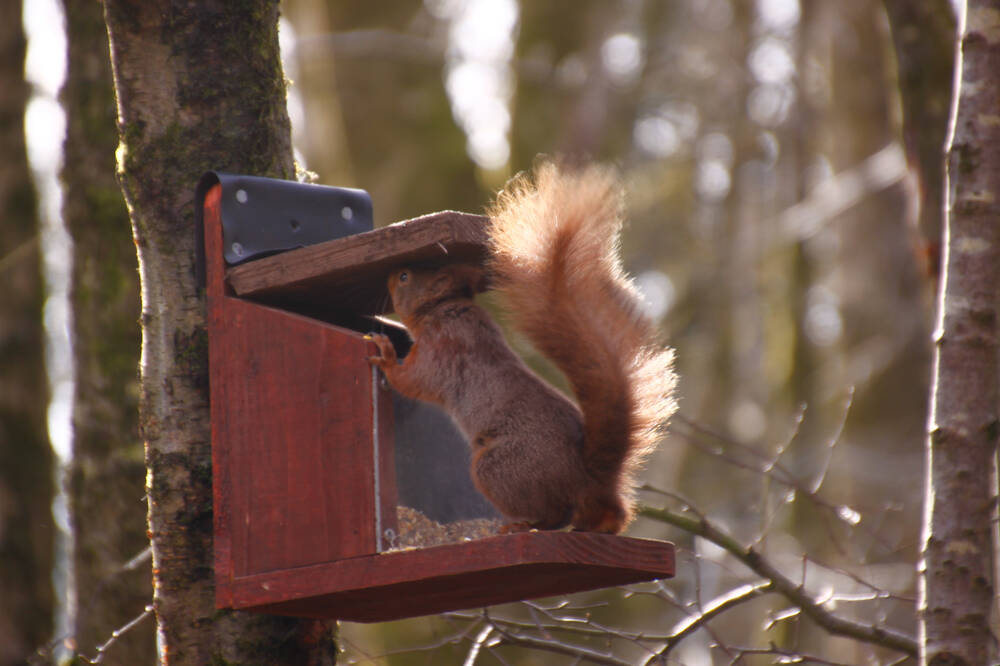 A red squirrel opening a feeder box at Threave Garden & Estate