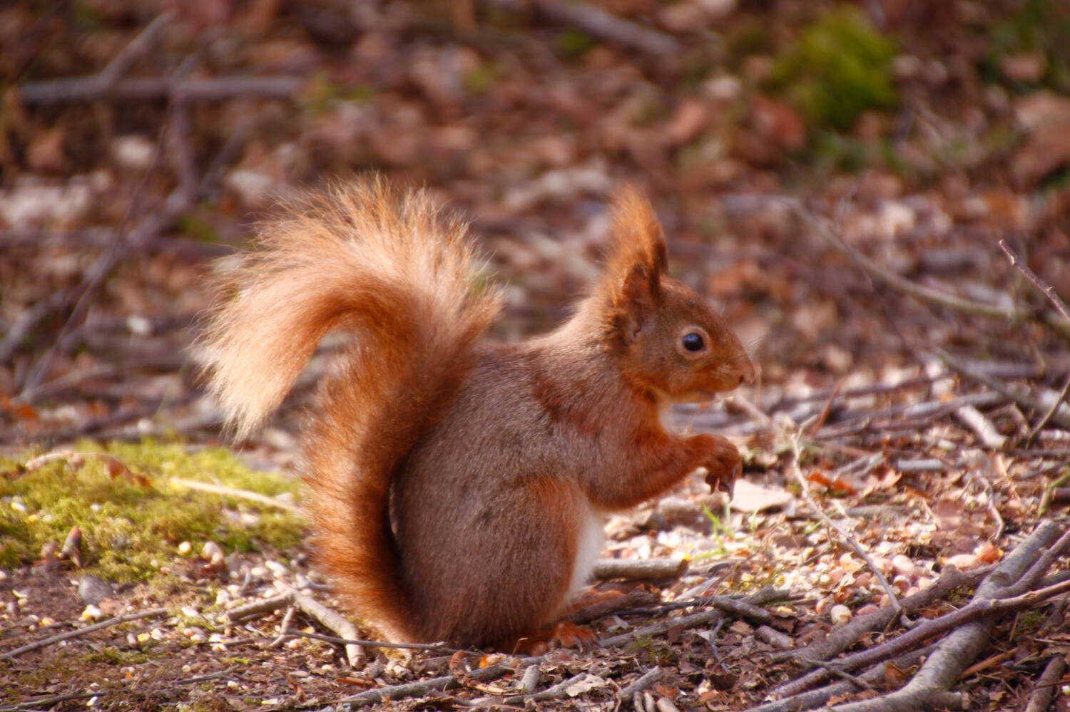 A red squirrel at Threave Garden & Estate