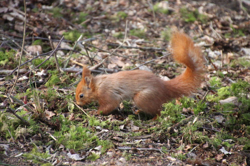 A red squirrel found at Threave Garden & Estate