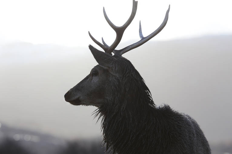 A close-up of a red deer stag with antlers
