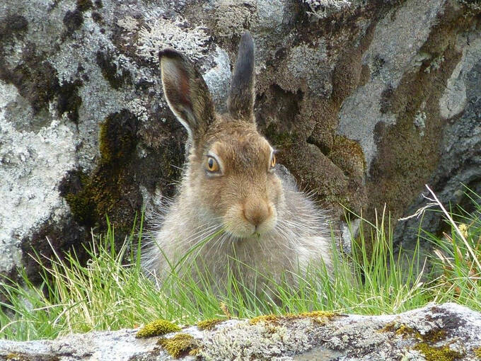 A mountain hare in summer. It faces the camera and sits on long grass in front of a rock. Its black-tipped ears are pricked.