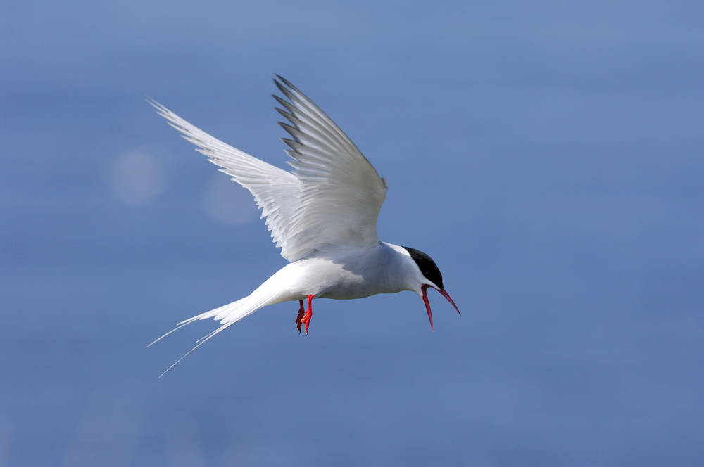 An arctic tern hovering in the air