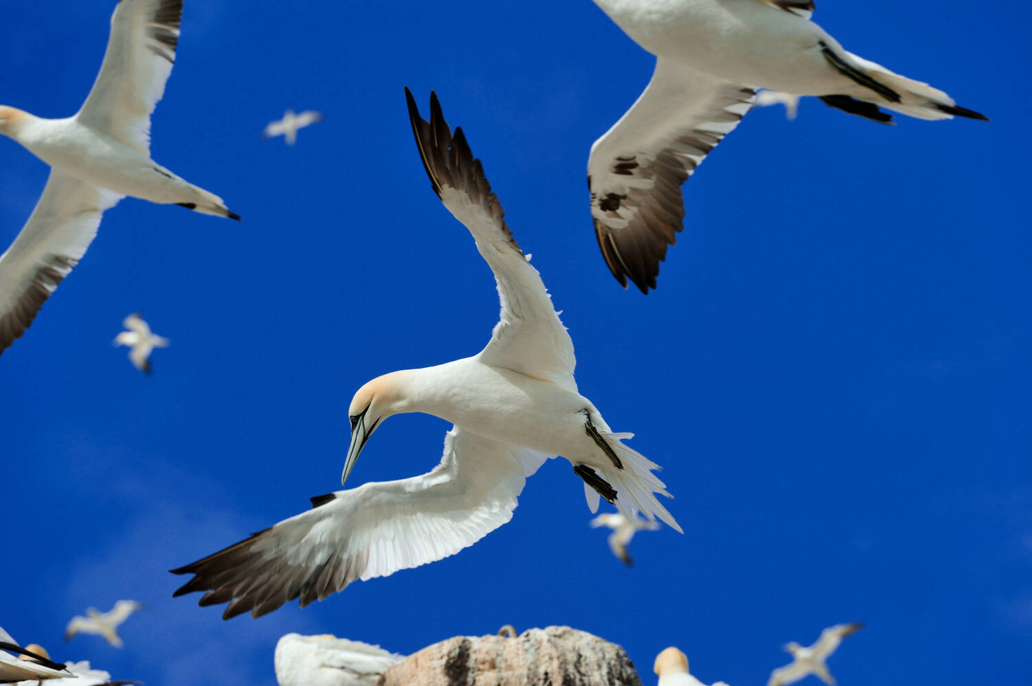 Gannets flying