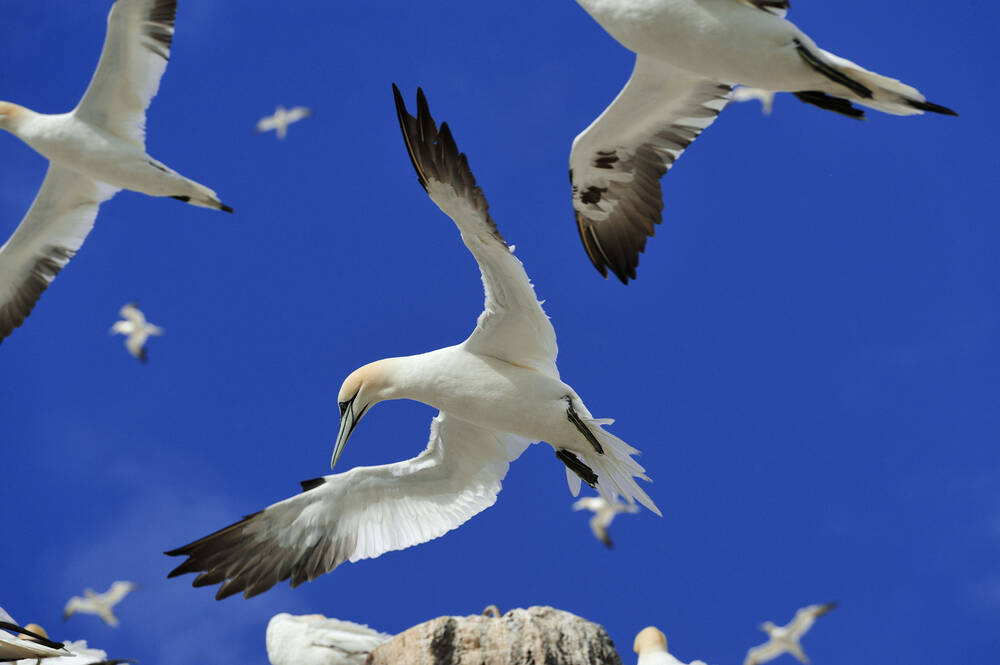 A company of northern gannets in the air