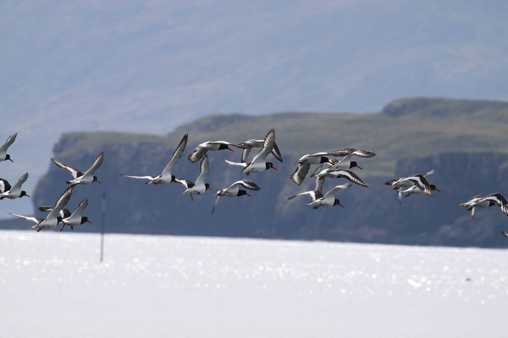 A flock of oystercatchers flying across the sea at Canna