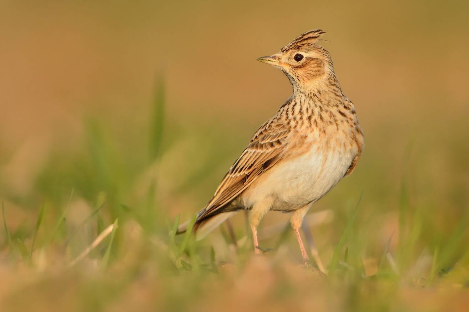 A close-up of a skylark standing in a grassy field. It has pale, golden brown feathers with a cream tummy. It has a raised crest on top of its head.