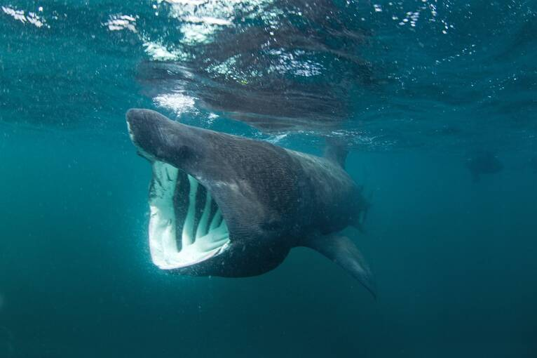 A basking shark swims just beneath the surface towards the camera. Its mouth is wide open.