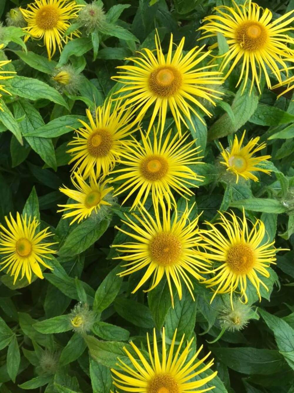 Close-up of the yellow daisy-like flowers of Inula hookeri.